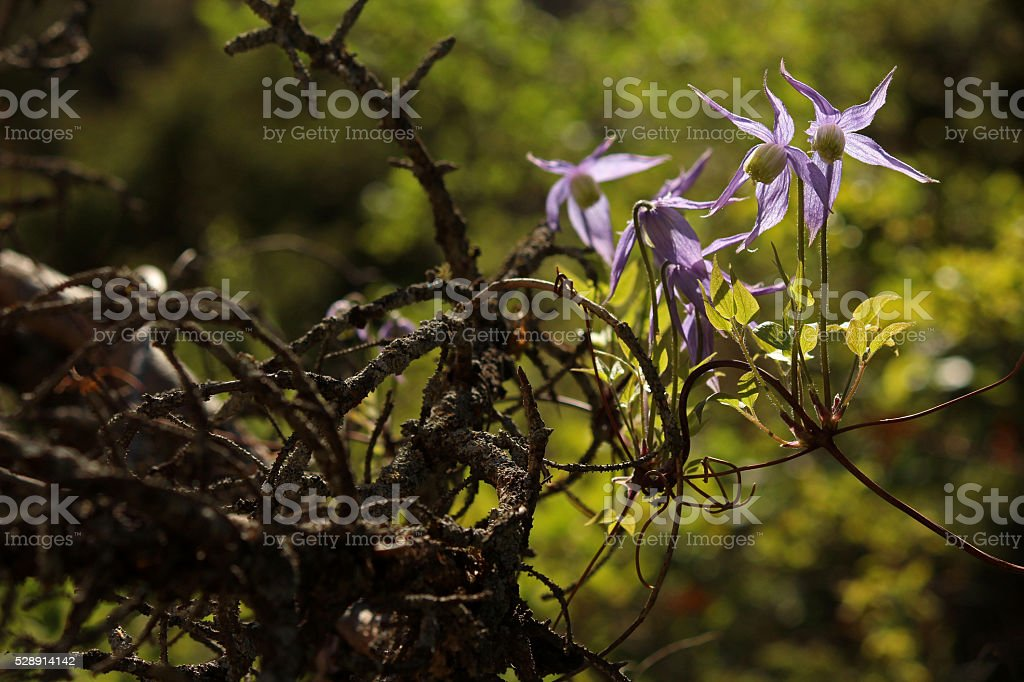 Wild Clematis Clings to Deadfall stock photo