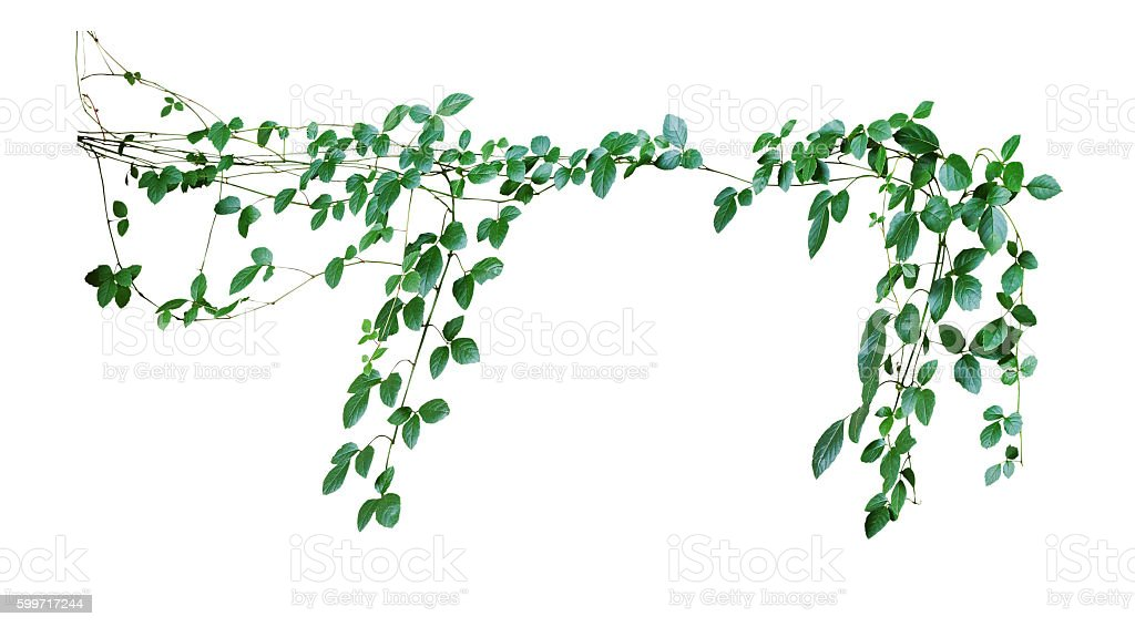 Wild climbing vine, Cayratia trifolia (Linn.) Domin. isolated on stock photo