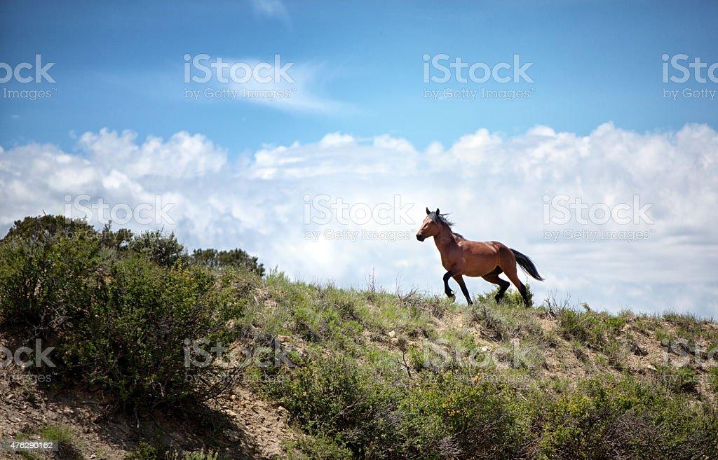 Wild Colorado Mustang Horse Running Along the Skyline stock photo
