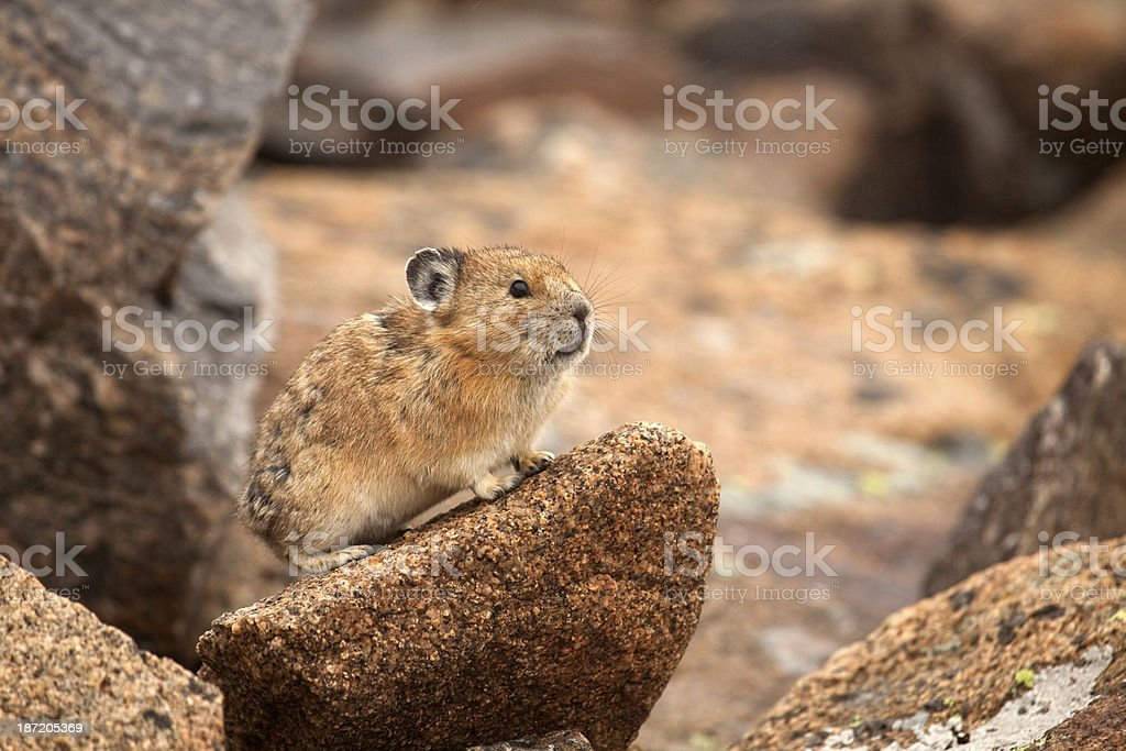 Wild Colorado pika copy space stock photo