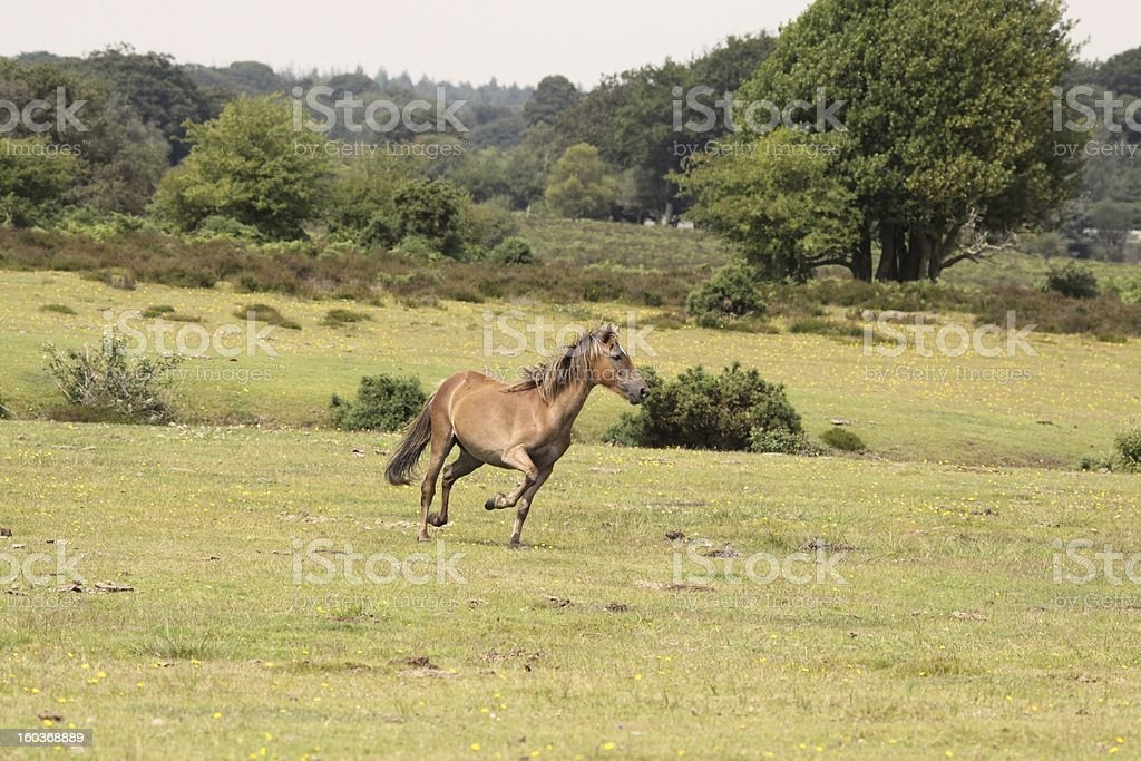 wild colt running on new forest plain royalty-free stock photo