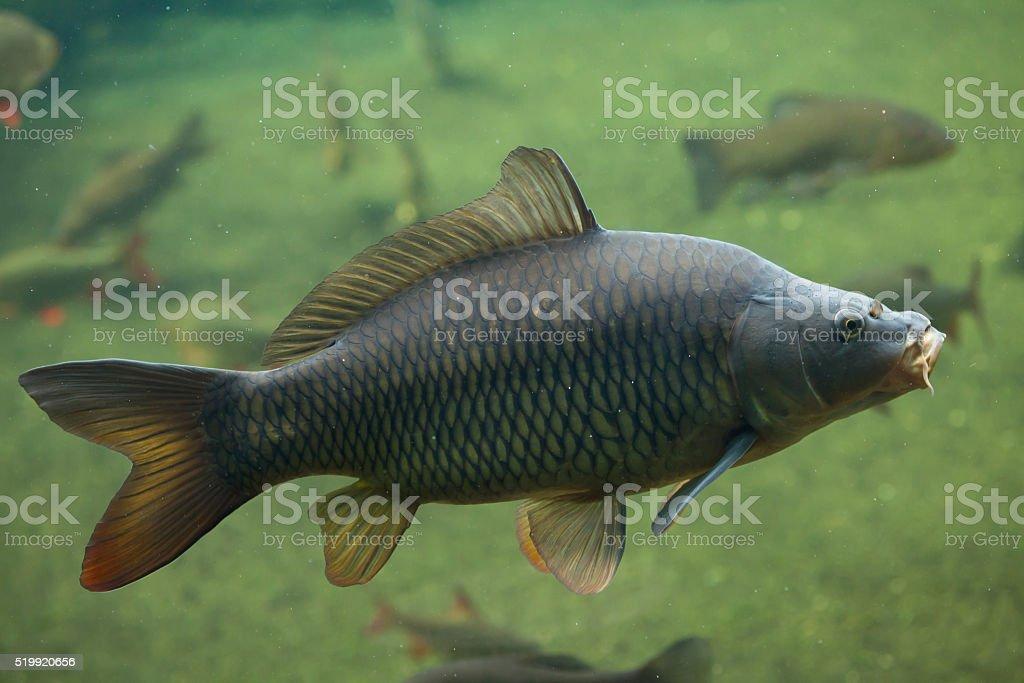 Wild common carp (Cyprinus carpio). stock photo