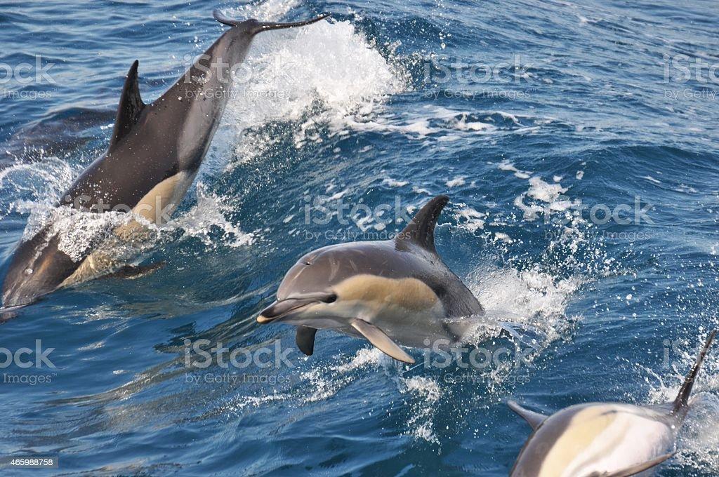 Wild Common Dolphin stock photo