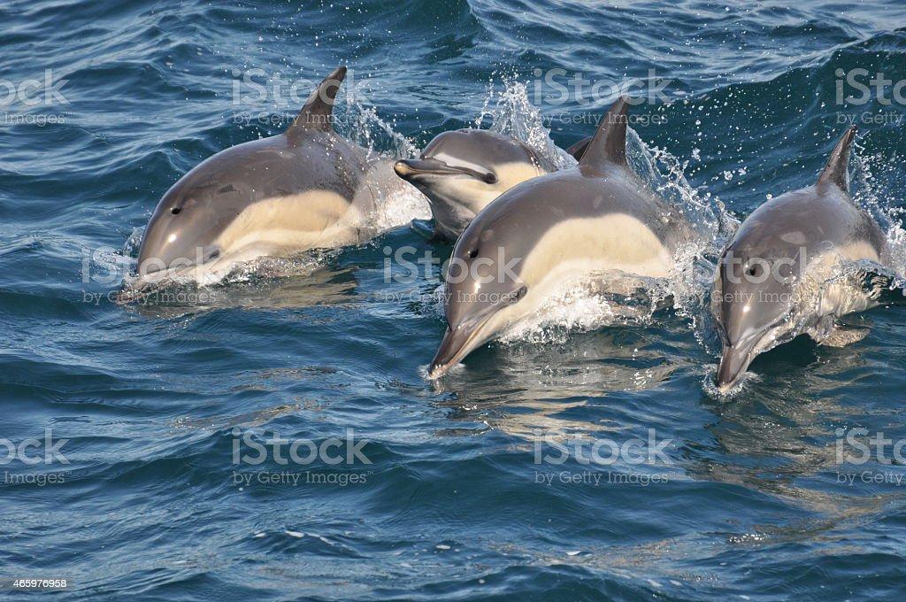 Wild Common Dolphins stock photo
