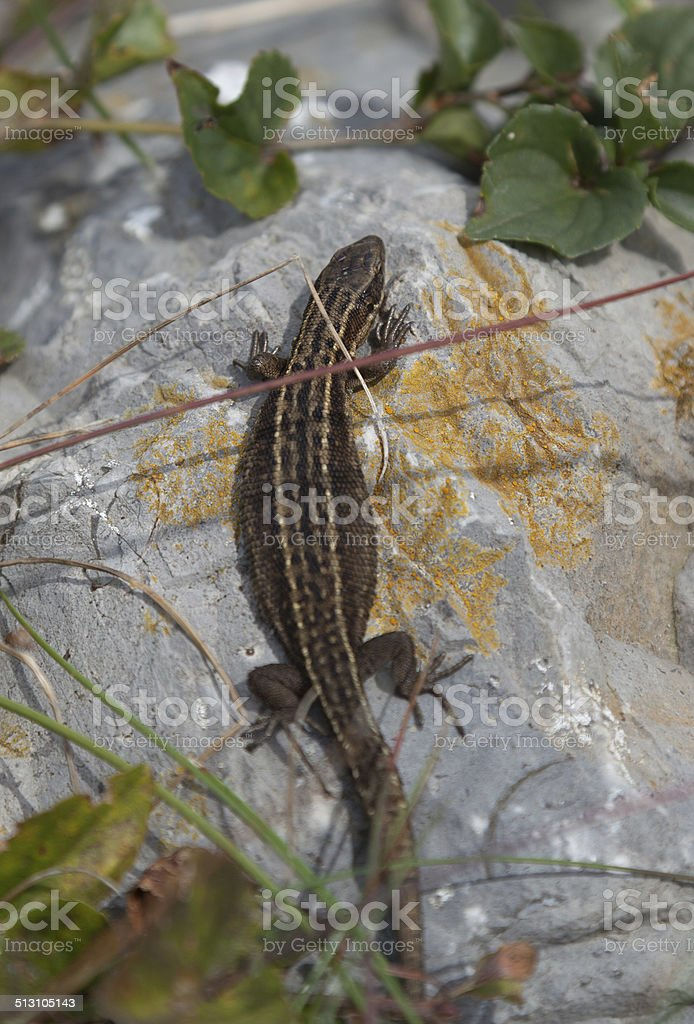 Wild common lizard at holyhead stock photo