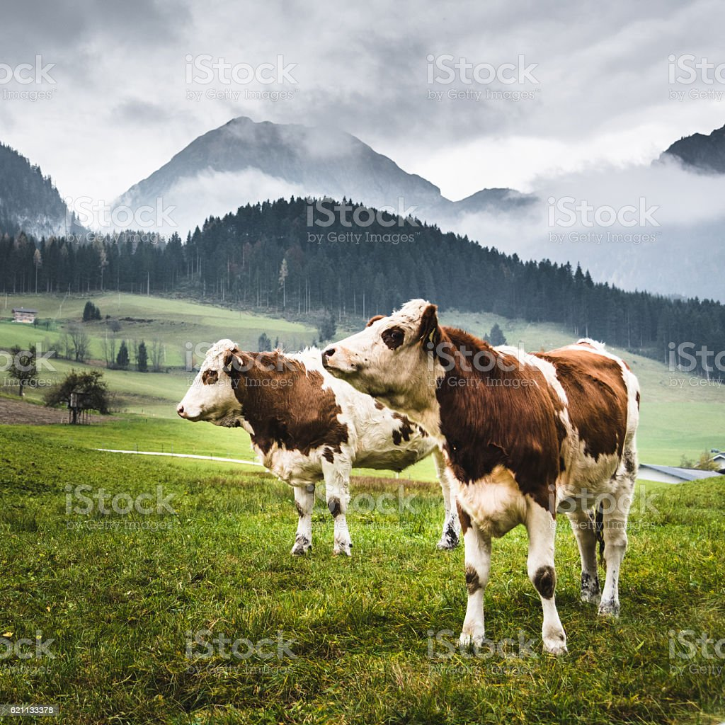 wild cows in the alps for the pasture stock photo