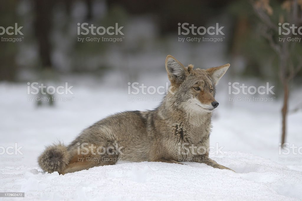 Wild Coyote Lying in Snow royalty-free stock photo