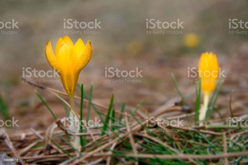 Wild crocus flowers in the nature royalty-free stock photo
