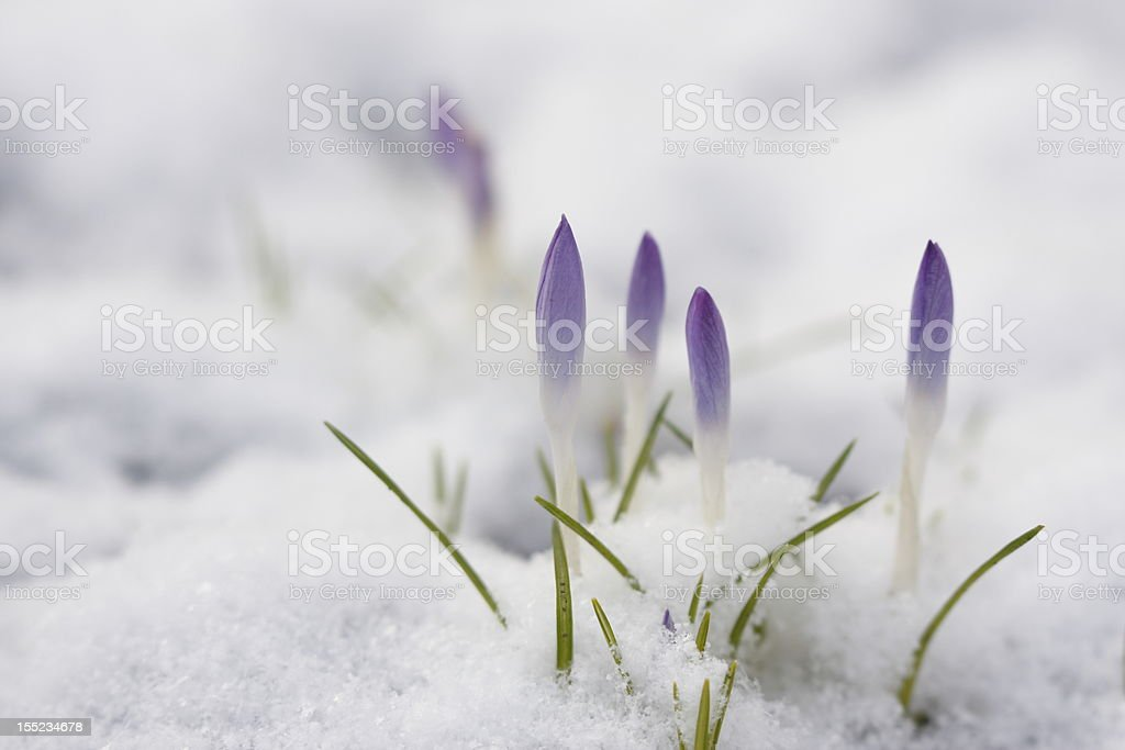 Wild Krokus im Fr?hling stock photo