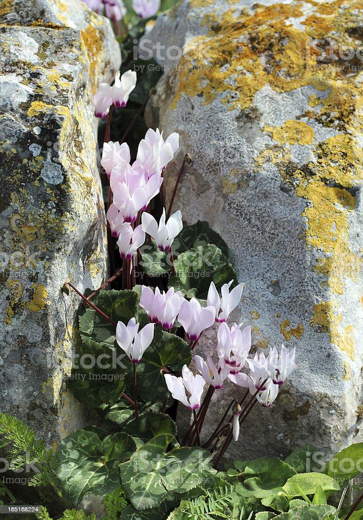 wild cyclamen between rocks royalty-free stock photo