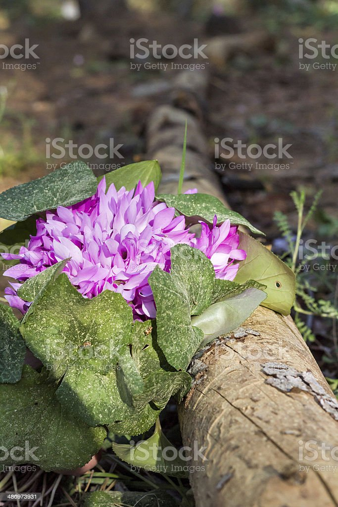 Wild cyclamen hederifolium in forest . stock photo