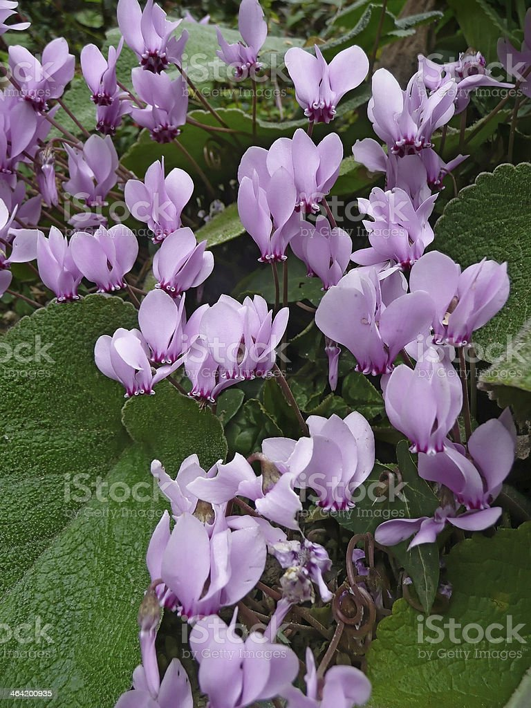 Wild cyclamen stock photo