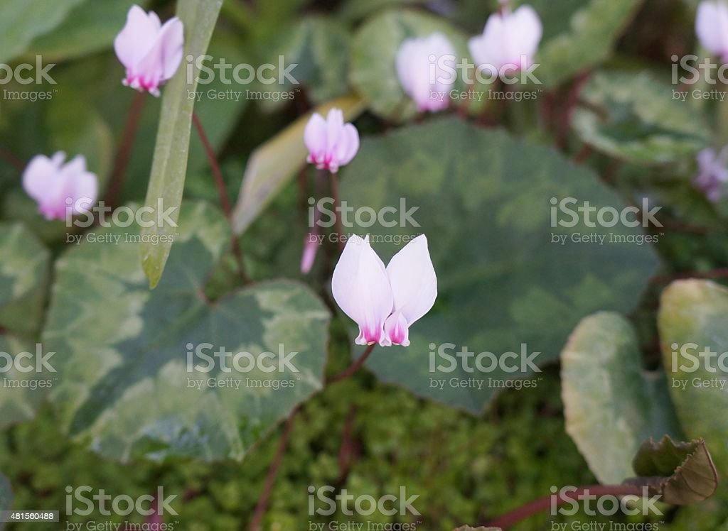 Wild cyclamens stock photo