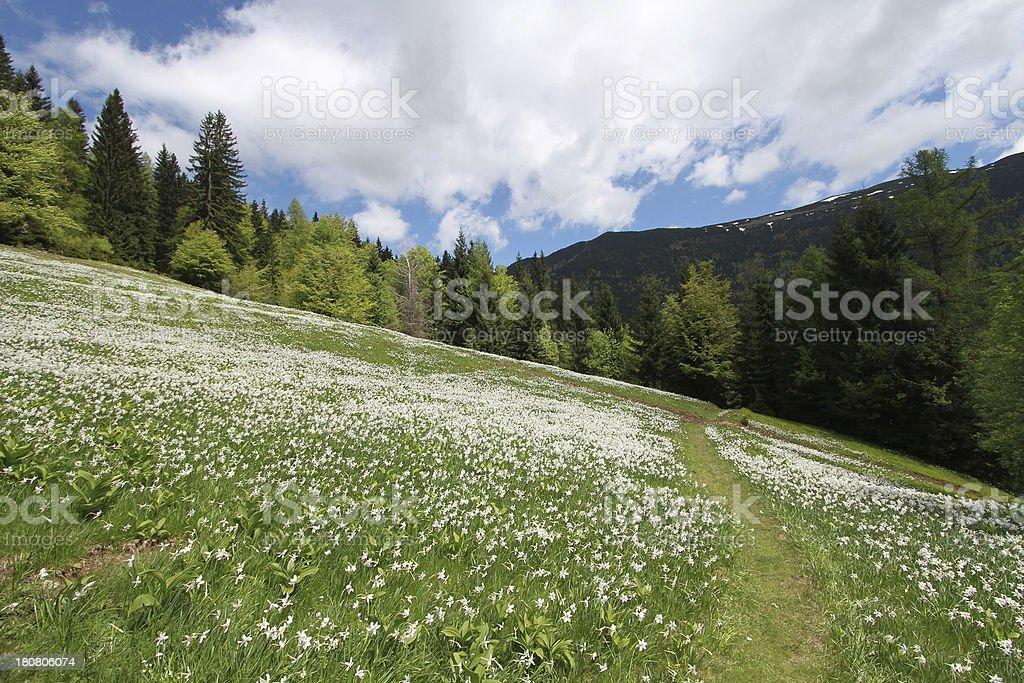 wild daffodils meadow royalty-free stock photo