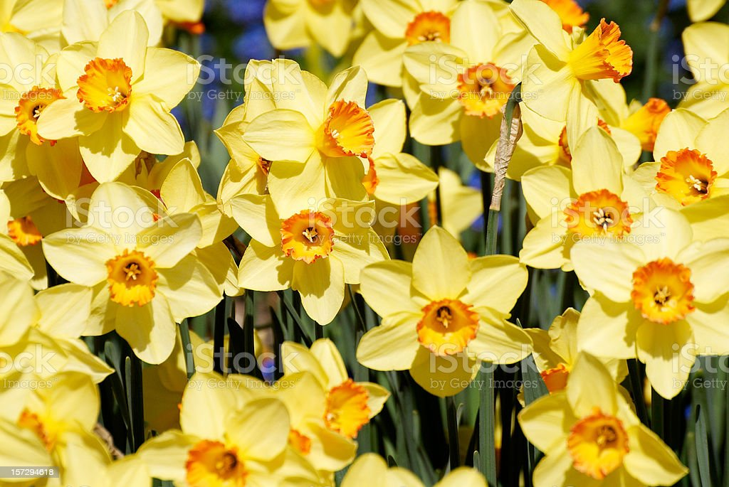 Wild Daffodils royalty-free stock photo