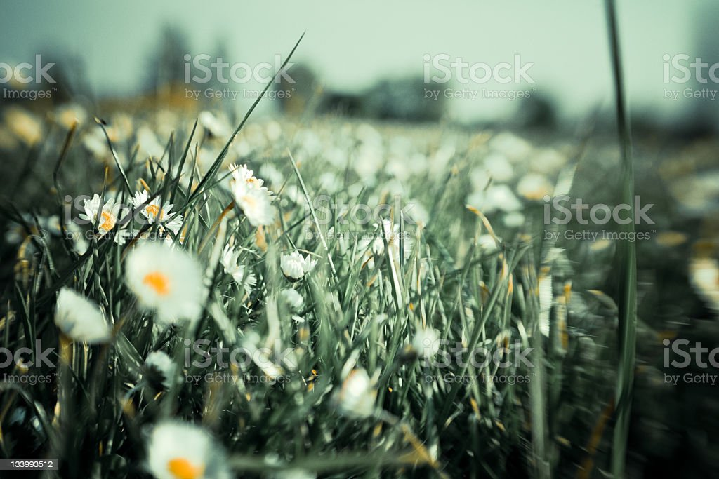 Wild daisies in the green grass royalty-free stock photo