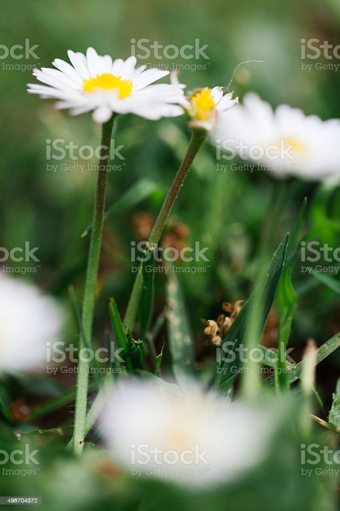 Wild daisies in the green grass stock photo