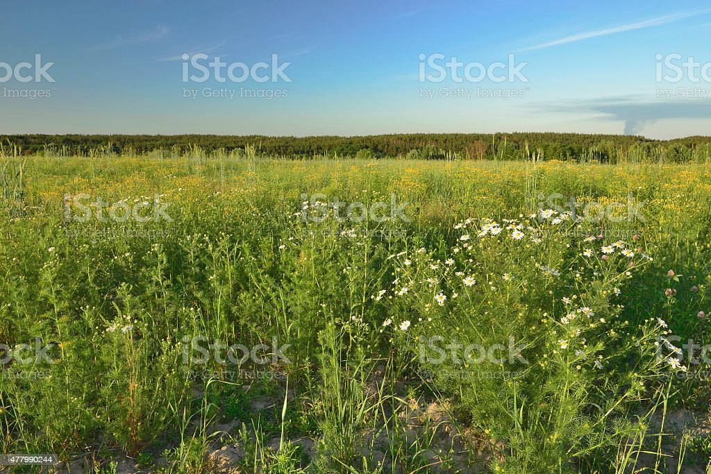Wild daisies stock photo