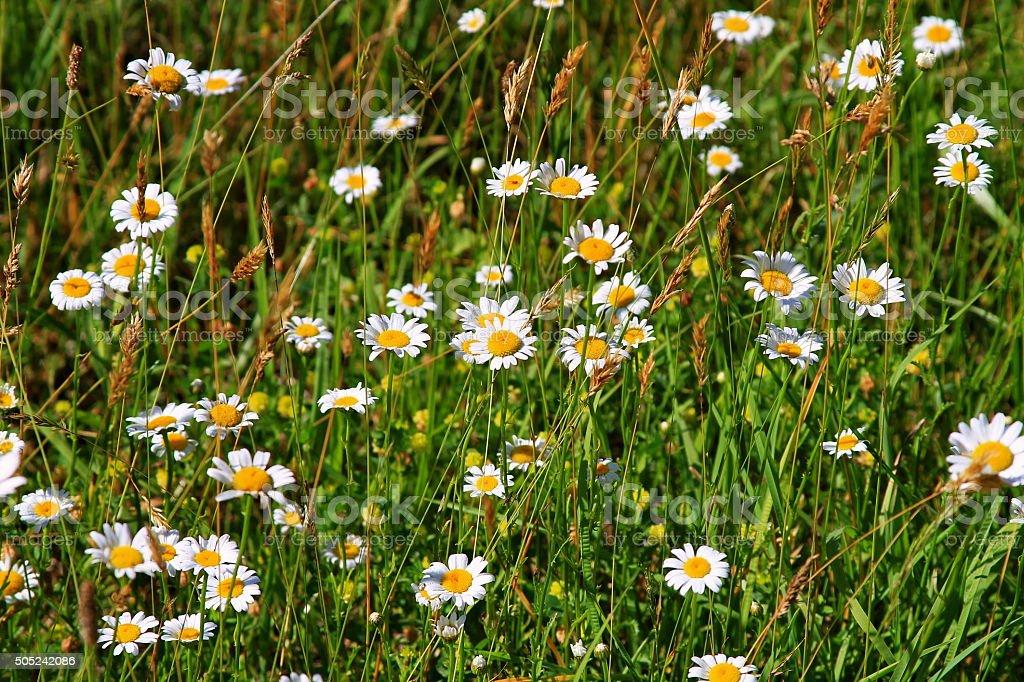 Wild Daisies stock photo