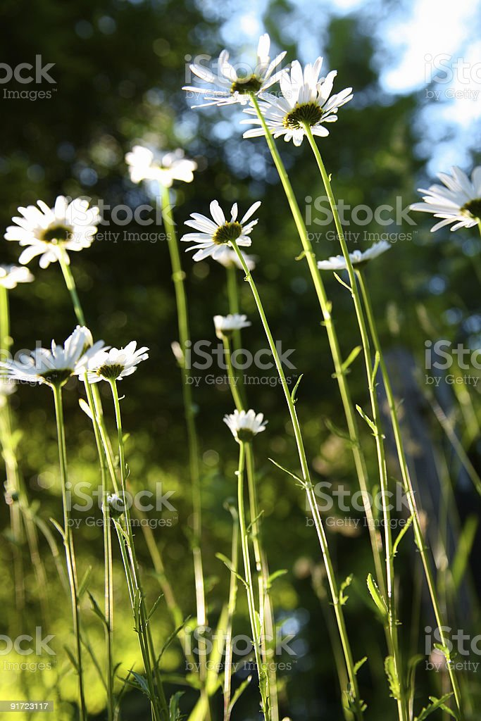 Wild Daisies royalty-free stock photo