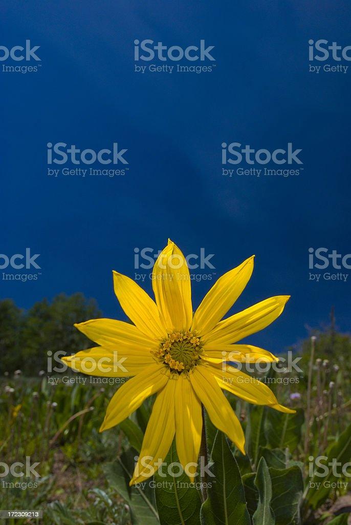 Wild Daisy in Colorado royalty-free stock photo