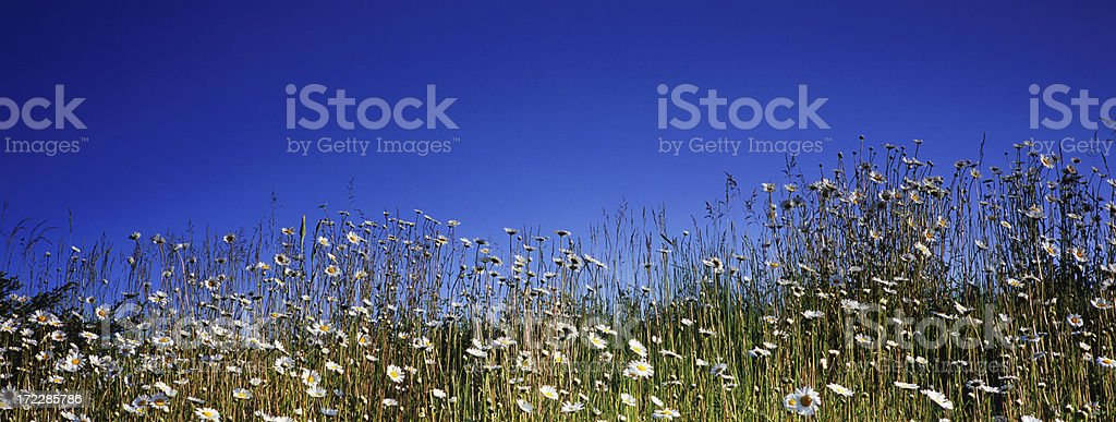 Wild Daisy Panoramic royalty-free stock photo