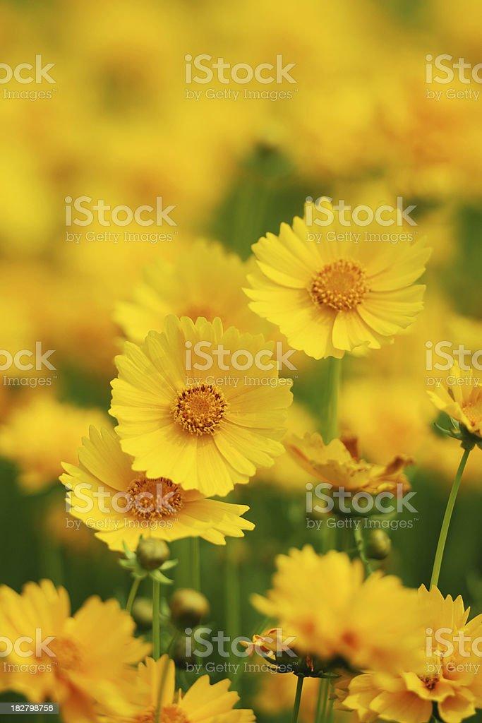 Wild Daisy - XLarge royalty-free stock photo