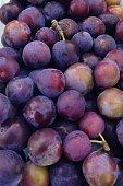 Wild Damson Fruit Close Up