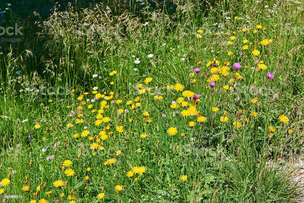 Wild Dandelion stock photo
