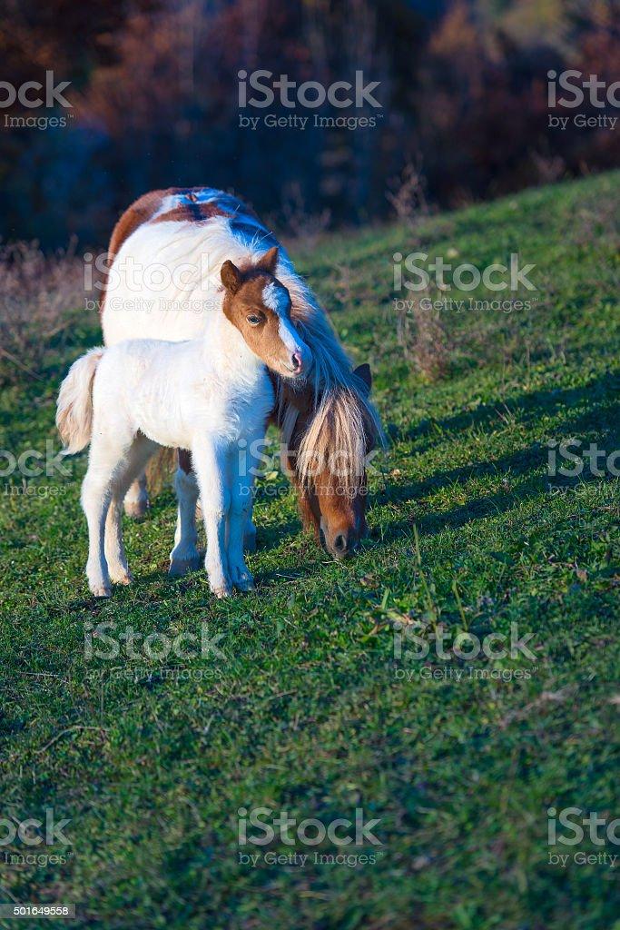 Wild Dartmoor pony, mother and foal stock photo