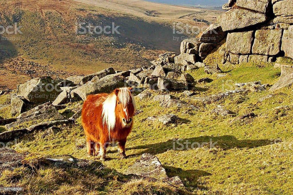Wild Dartmoor Pony stock photo