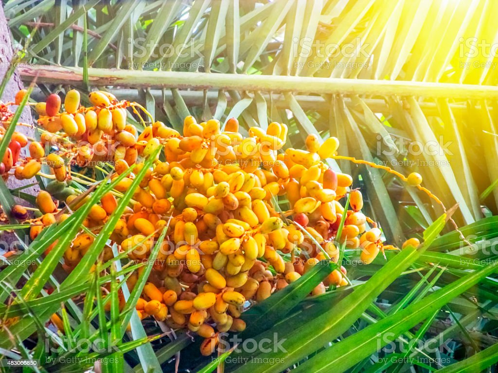 Wild Dates grown in the Date Tree stock photo