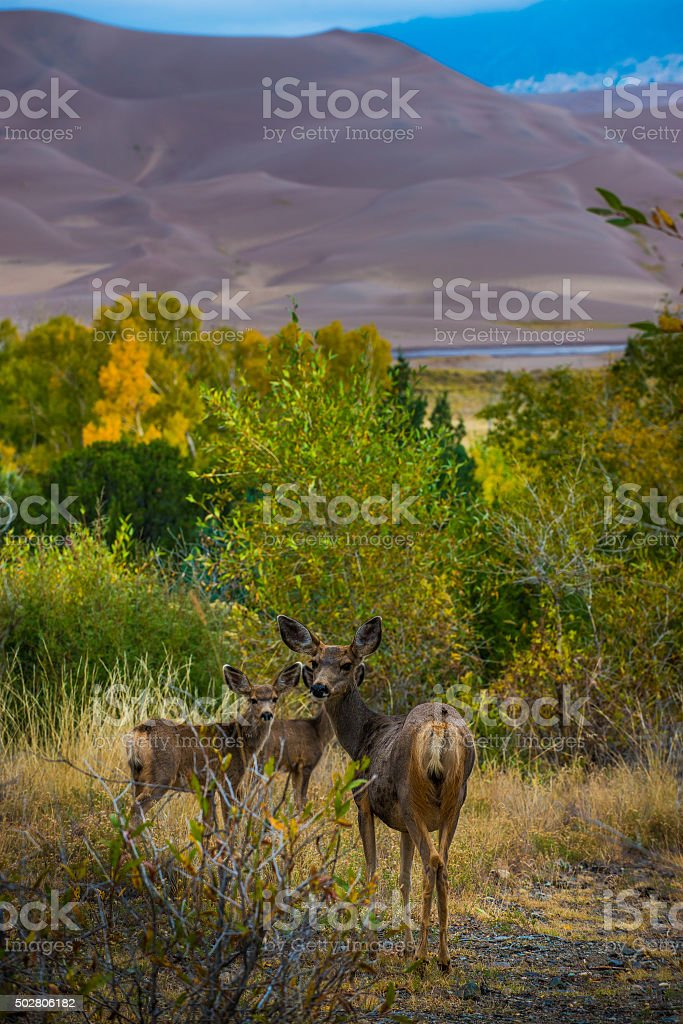 Wild Deer Family Colorado Sand Dunes Wildlife stock photo