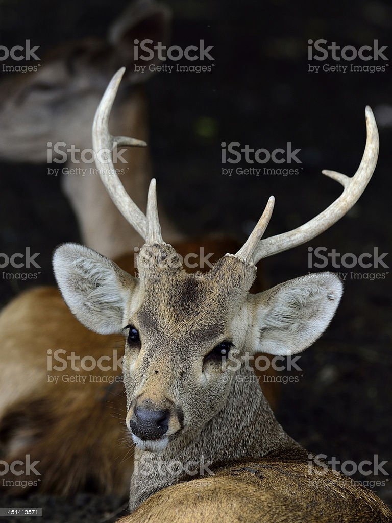 Wild deer in head shot with nice horn royalty-free stock photo