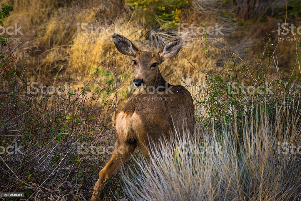 Wild Deer looking towards the camera Colorado Wildlife stock photo