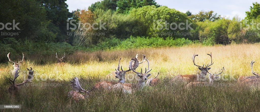 Wild deer royalty-free stock photo