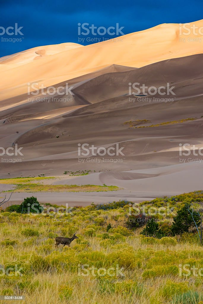 Wild Deer Sand Dunes Colorado stock photo