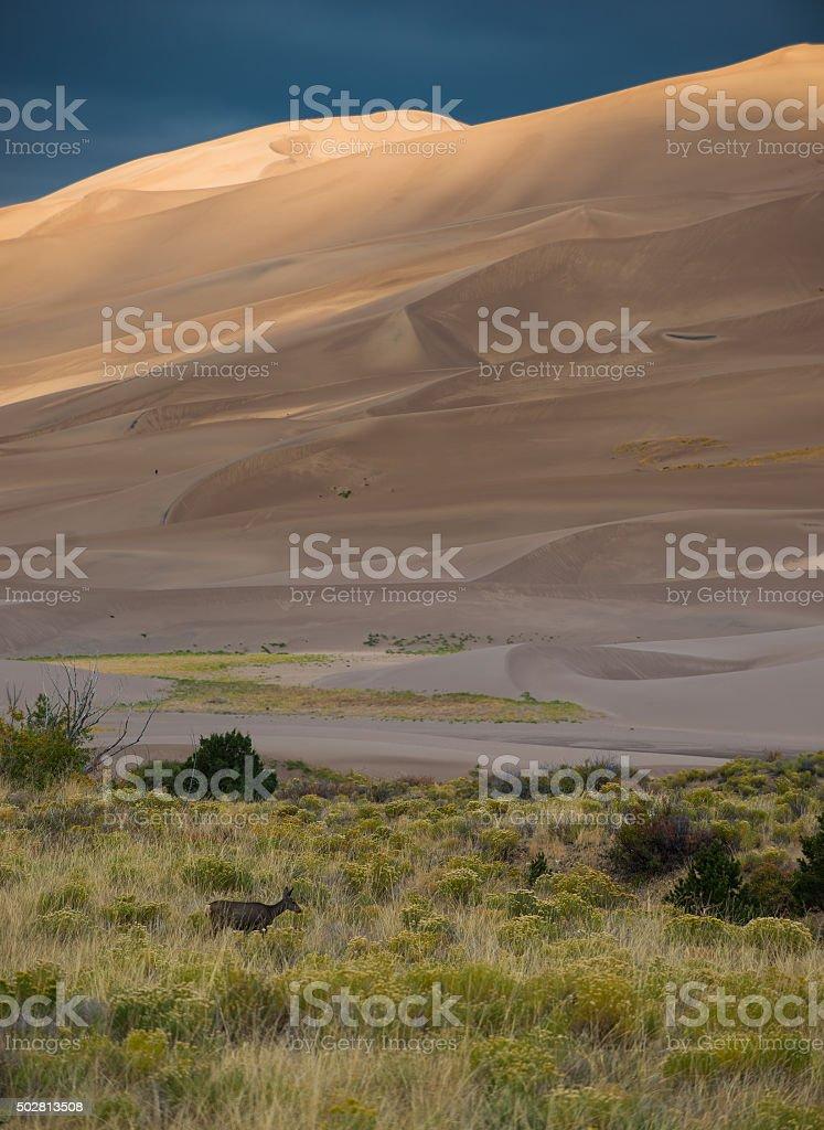 Wild Deer Sand Dunes Colorado stock photo