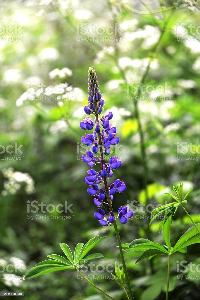 Wild delphinium stock photo