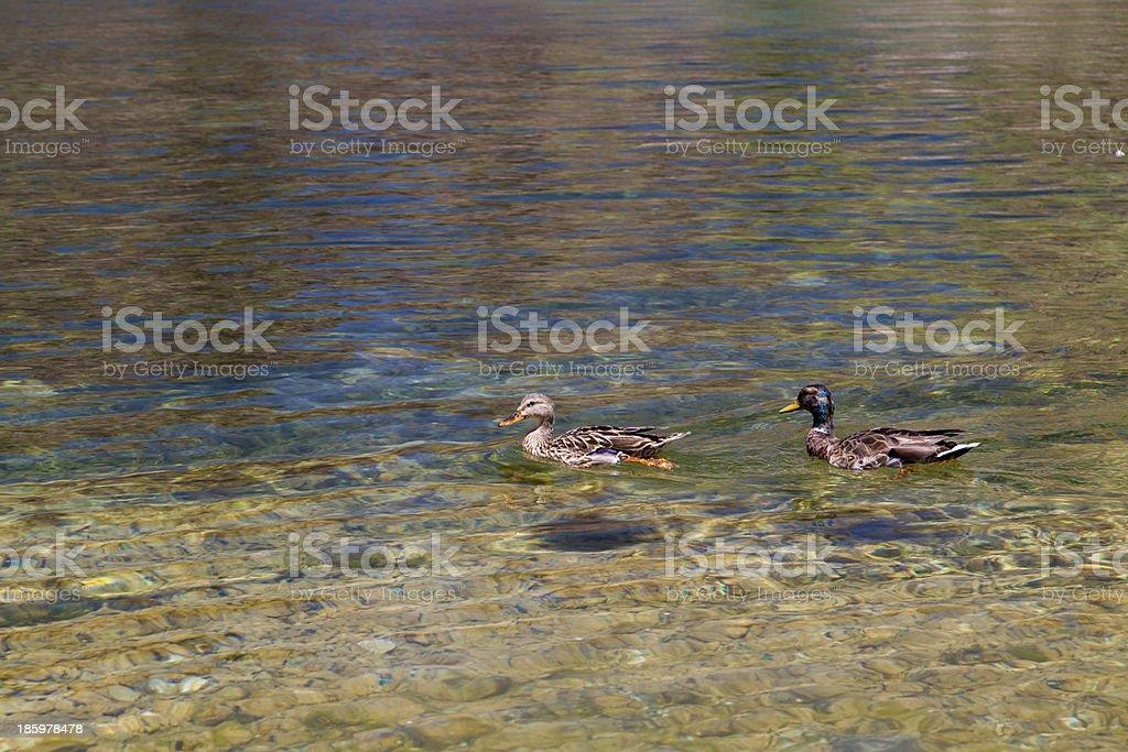 wild dicks in lake mead, Arizona royalty-free stock photo