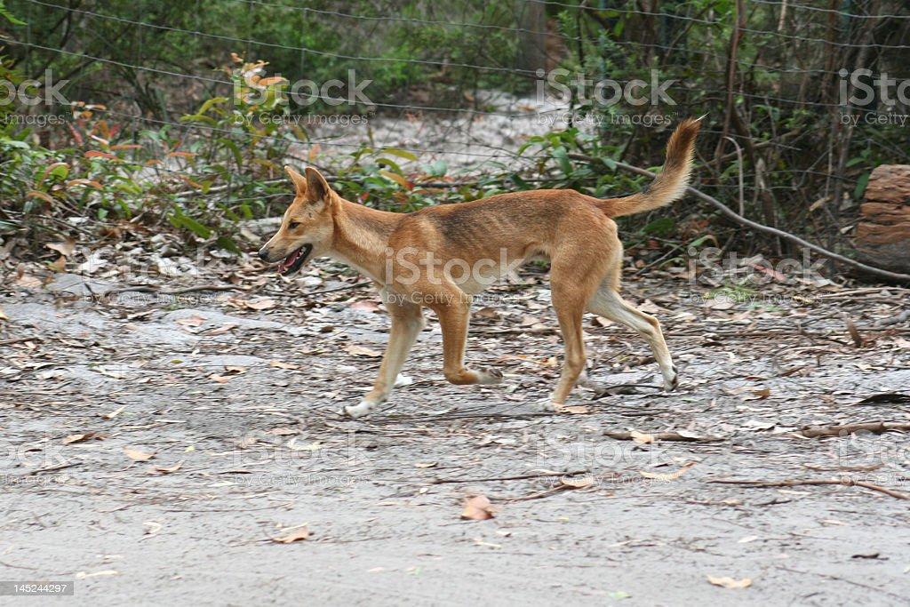 Wild Dingo in Australia royalty-free stock photo