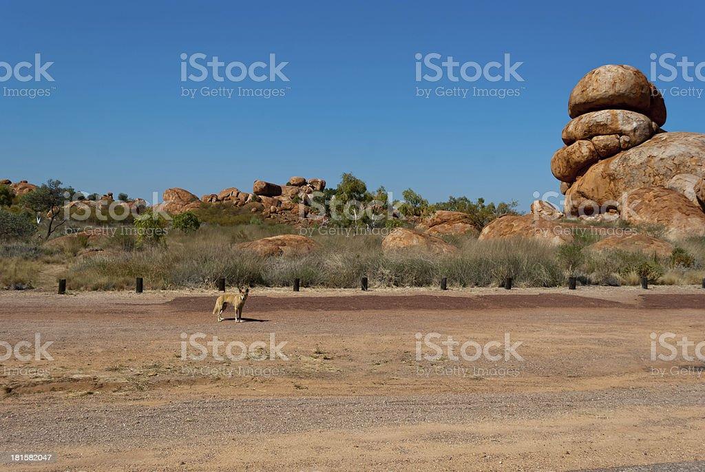Wild dingo near Devils Marbles, Australia royalty-free stock photo