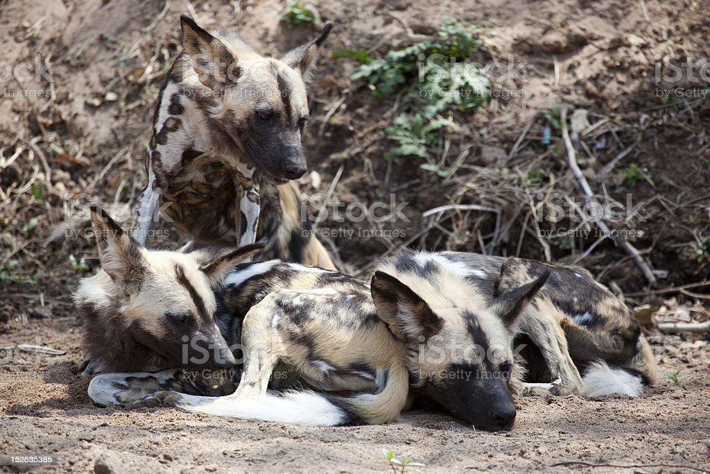 Wild Dog stock photo