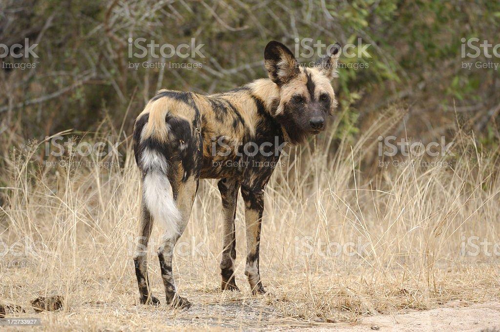 Wild Dog royalty-free stock photo