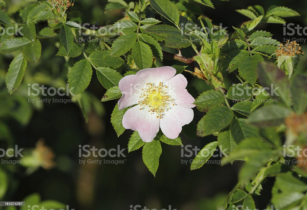 Pale pink wild dog rose Rosa canina with leaves royalty-free stock photo