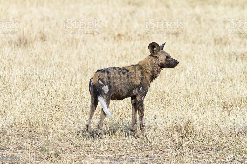 Wild Dog, Savuti National Park, Botswana stock photo