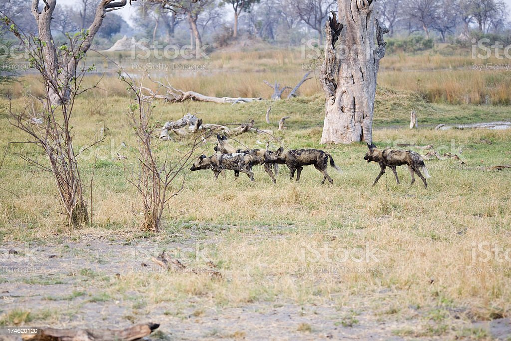 Wild Dogs Hunting stock photo