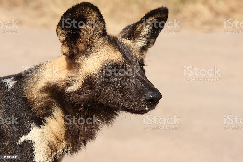 Wild dogs in Soouth Africa royalty-free stock photo