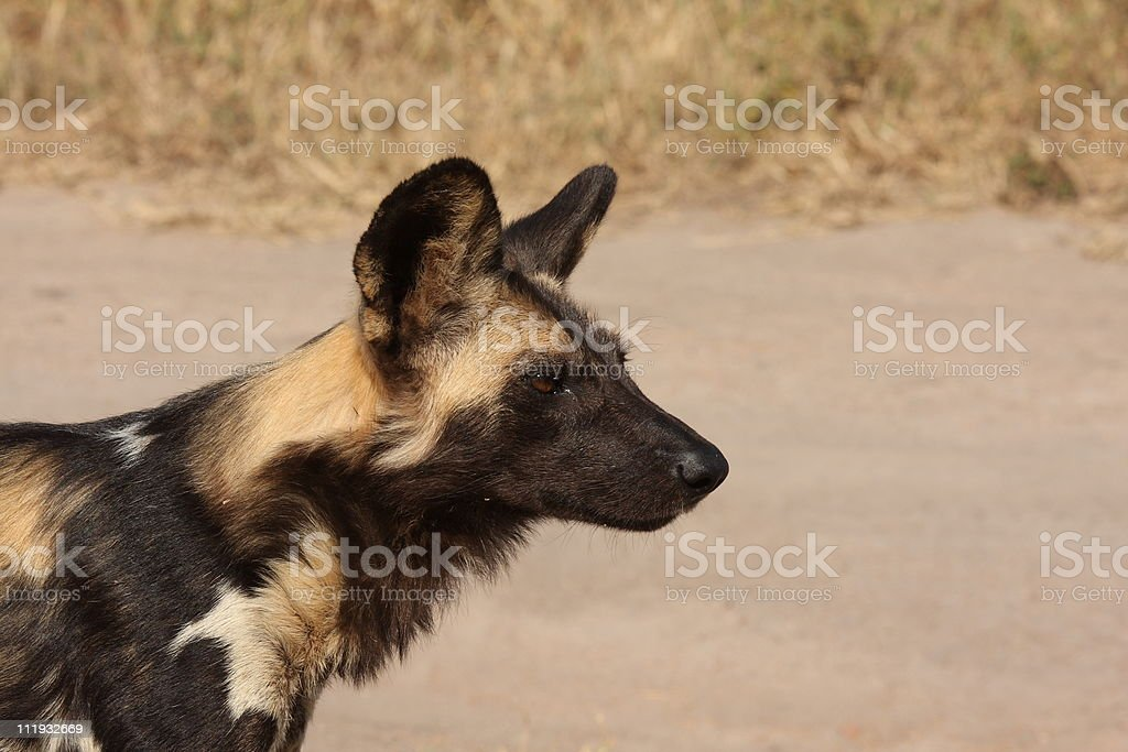 Wild dogs in South Africa royalty-free stock photo