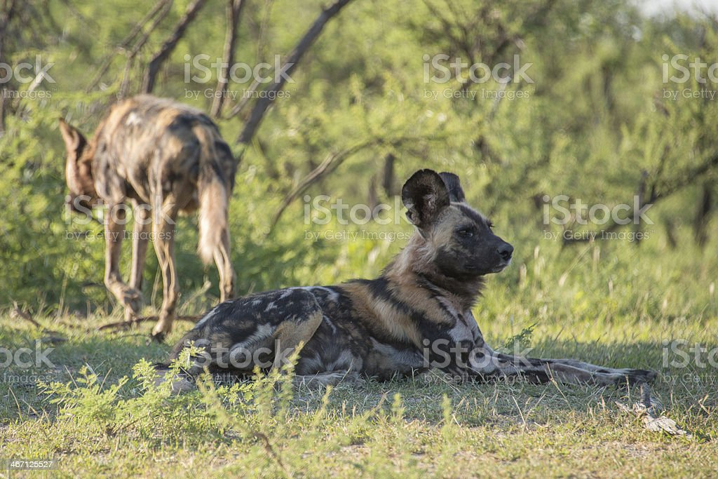 Wild Dogs royalty-free stock photo